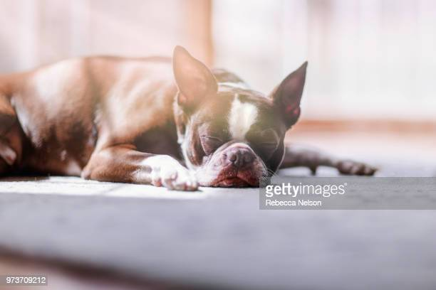 portrait of boston terrier sleeping - rebecca nelson stock pictures, royalty-free photos & images