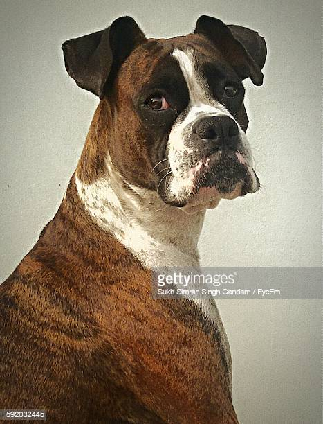 Portrait Of Boxer Against Wall
