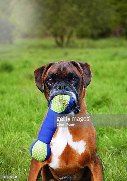 portrait of boxer dog holding toy bone in mouth - dog bone stock pictures, royalty-free photos & images