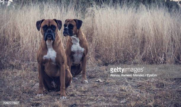 Portrait Of Boxer Dogs Outdoors