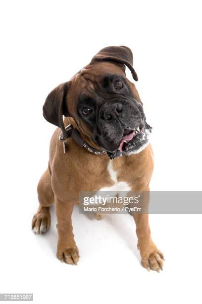 Portrait Of Boxer Sitting On White Background