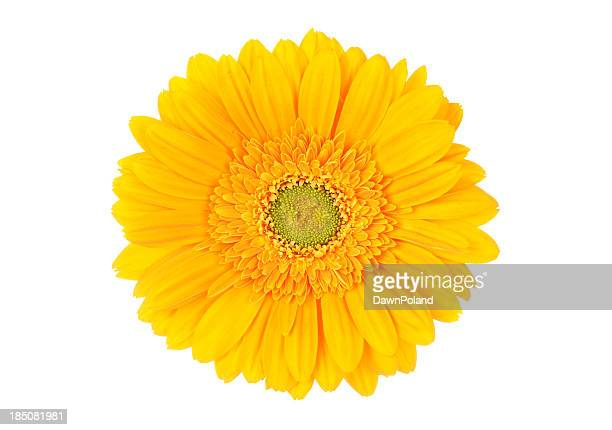 portrait of bright yellow gerbera daisy on white background - gerbera daisy stock pictures, royalty-free photos & images