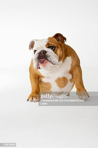 Portrait of British Bulldog