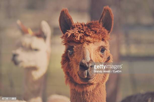 Portrait Of Brown Alpaca At Farm