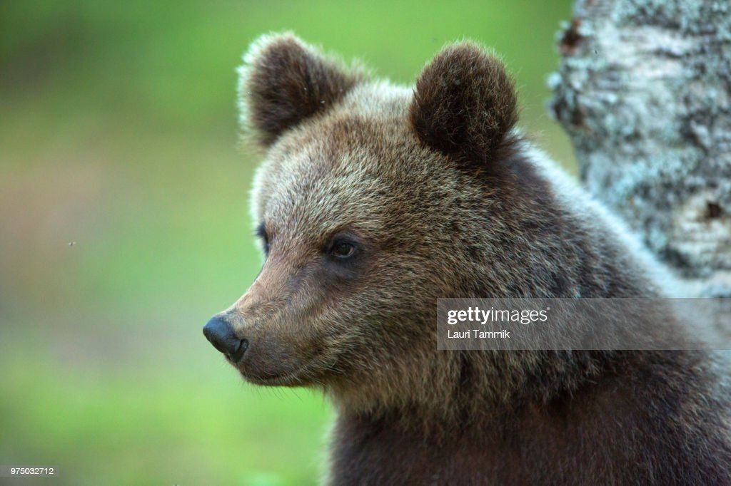 Portrait of Brown Bear cub : Stock Photo