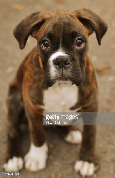 portrait of brown boxer puppy - boxer dog stock pictures, royalty-free photos & images