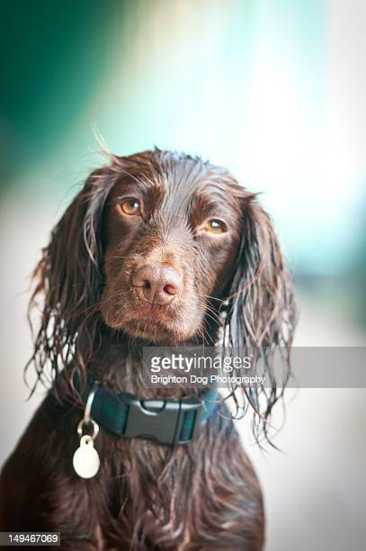 portrait of brown cocker spaniel - spaniel stock photos and pictures