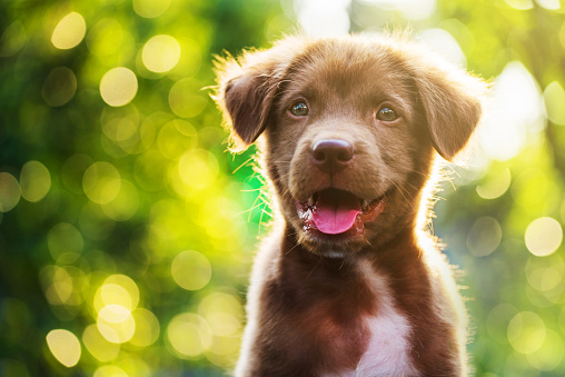 Portrait of brown cute Labrador retriever puppy with sunset bokeh abstract 646108884