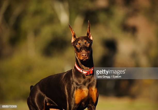 portrait of brown doberman pinscher - doberman foto e immagini stock