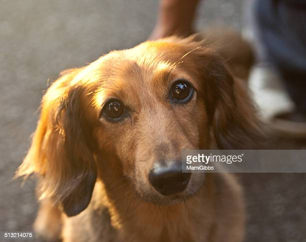 portrait of brown dog - mamigibbs stock photos and pictures