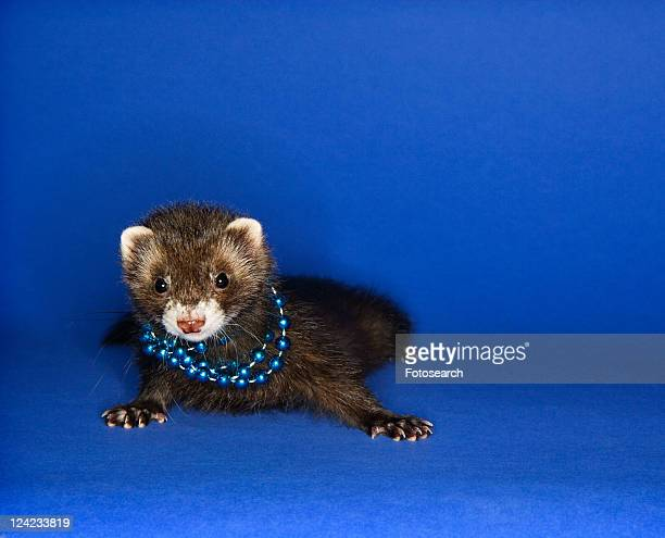 Portrait of brown ferret blue wearing necklace against blue background.
