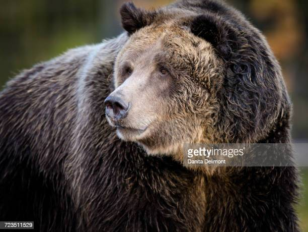 Portrait of Brown Grizzly Bear (Ursus arctos), West Yellowstone, Montana, USA