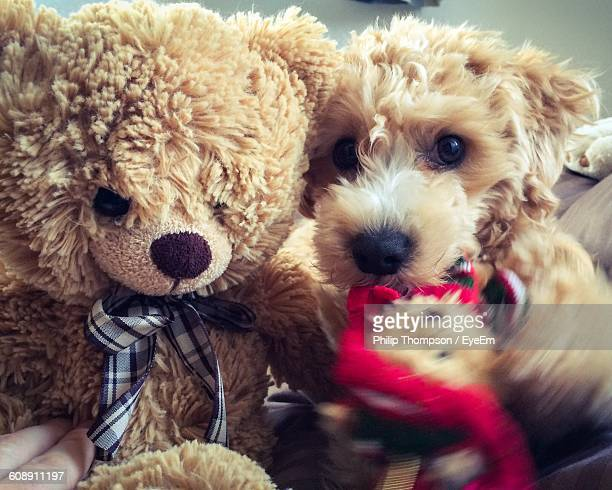 Portrait Of Brown Hairy Puppy With Teddy Bear