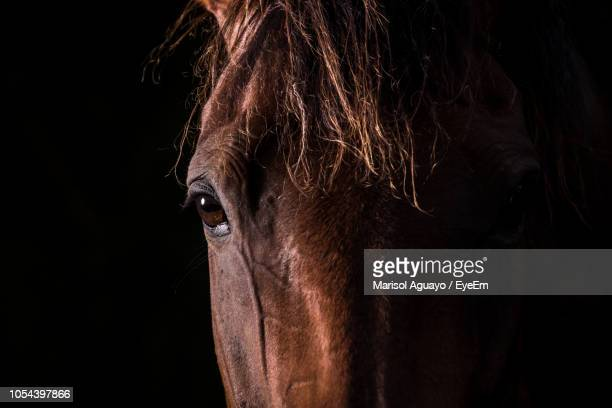 portrait of brown horse against black background - mammal stock pictures, royalty-free photos & images