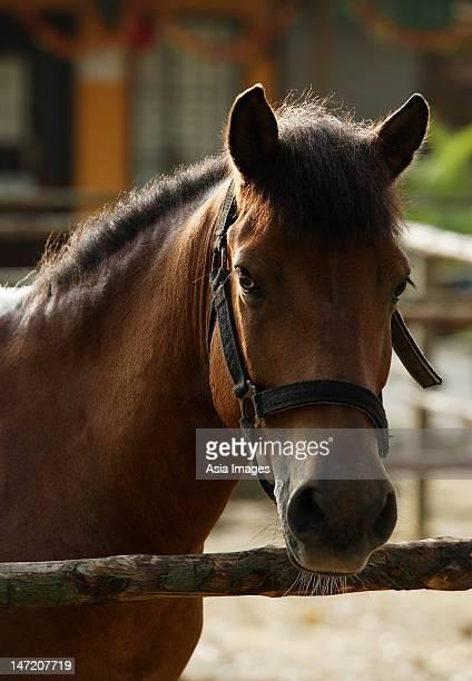 portrait of brown horse