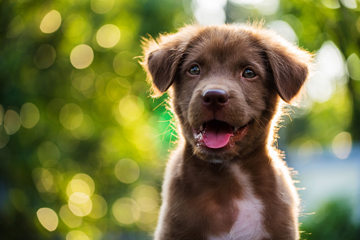 Portrait of brown puppy with bokeh background 636475496