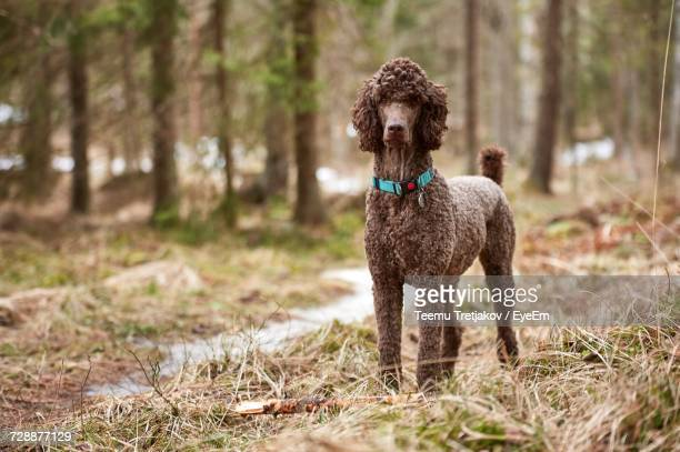 Portrait Of Brown Standard Poodle On Grassy Field