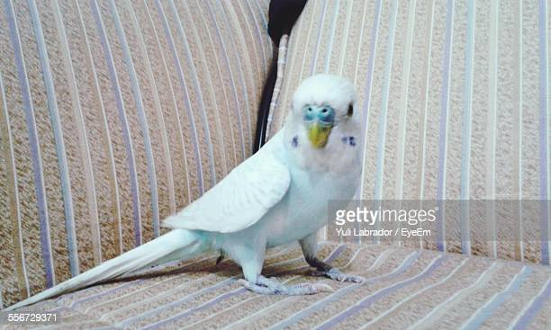 Portrait Of Budgerigar Standing On Sofa At Home