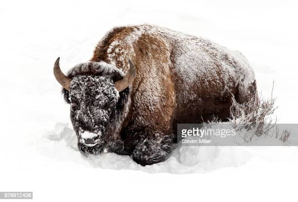 Portrait of buffalo in snow, Yellowstone National Park, Wyoming, USA