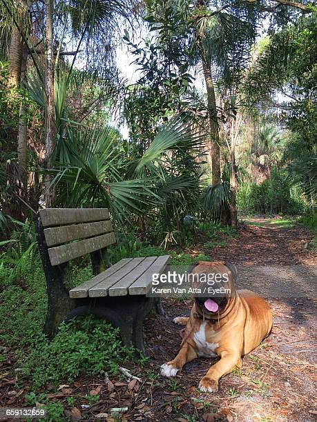 portrait of bull mastiff dog resting by park bench - bull mastiff stock pictures, royalty-free photos & images