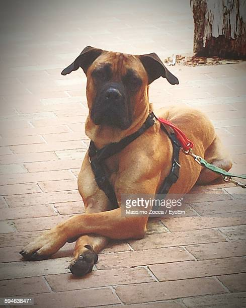 portrait of bull mastiff lying down on footpath - bull mastiff stock pictures, royalty-free photos & images