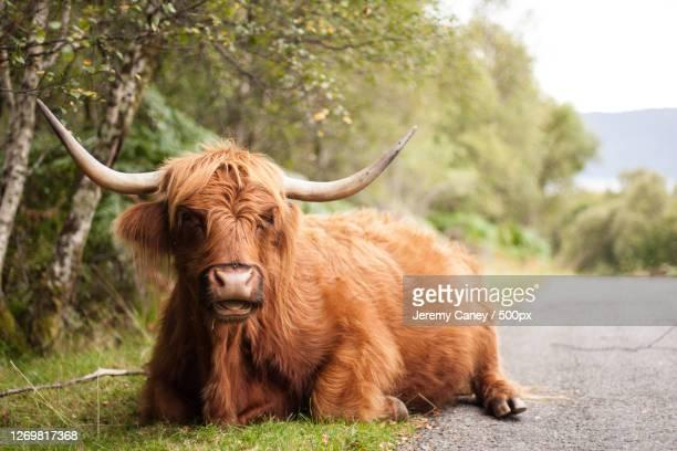 portrait of bull sitting on field - coo bildbanksfoton och bilder