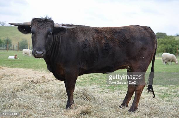 Portrait of bull standing in pasture