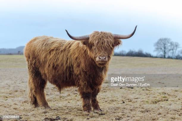 portrait of bull standing on field against sky - highland cattle stock photos and pictures