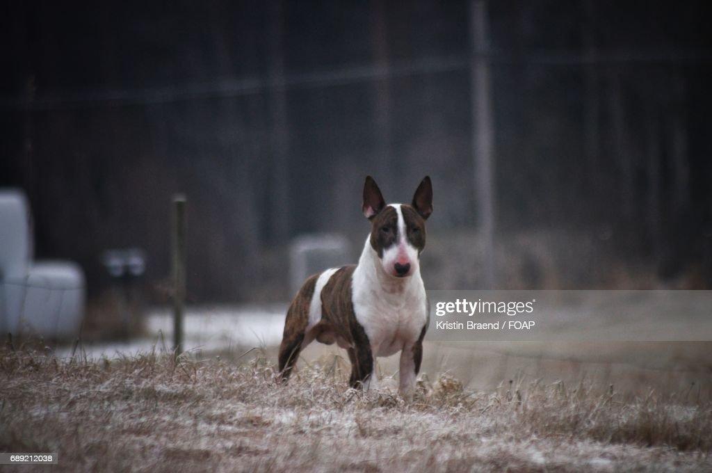 Portrait of bull terrier : Stock Photo