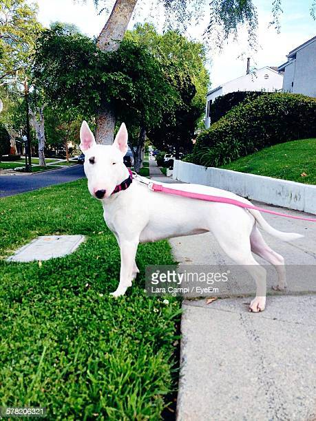 portrait of bull terrier standing on street - bull terrier stock photos and pictures