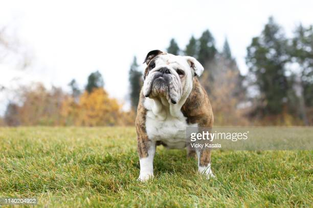 portrait of bulldog standing on park grass - buldogue - fotografias e filmes do acervo