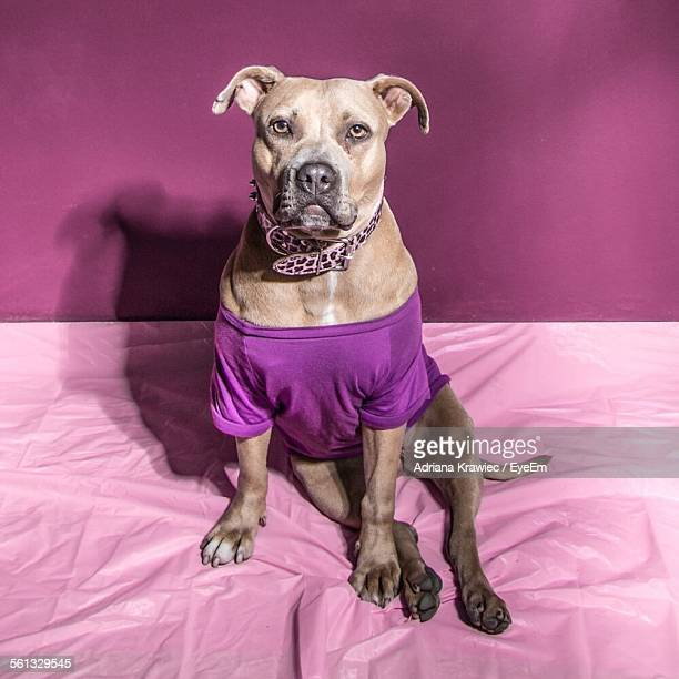 Portrait Of Bulldog Wearing Purple T-Shirt On Bed At Home
