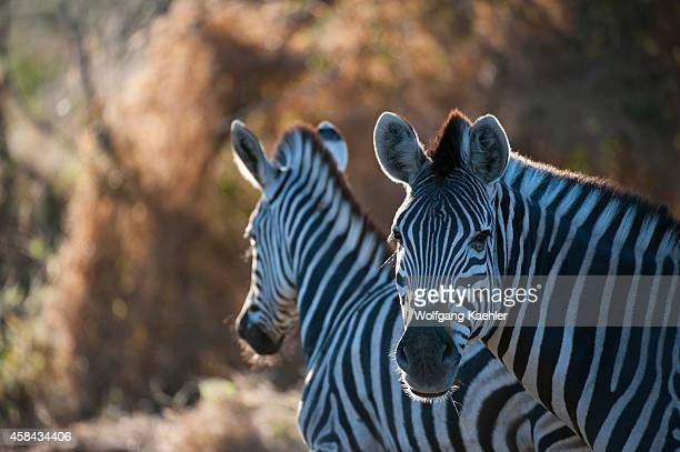 Portrait of Burchell's zebra in the Chitabe area of the Okavango Delta in the northern part of Botswana