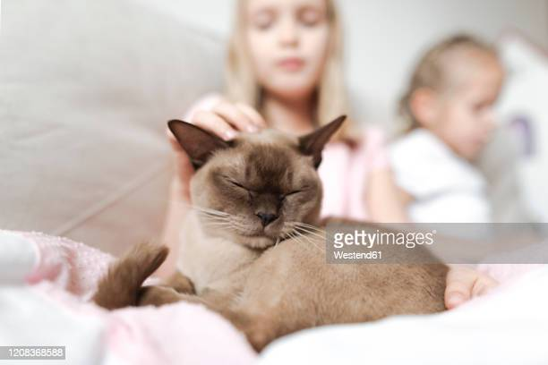 portrait of burmese cat with eyes closed relaxing with girls on the couch - burmese cat stock pictures, royalty-free photos & images