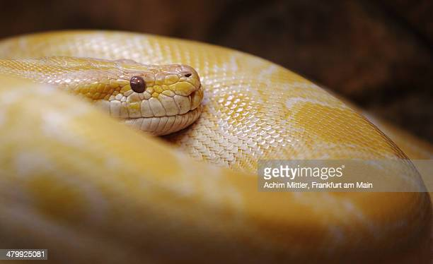 portrait of burmese python - burmese python stock pictures, royalty-free photos & images