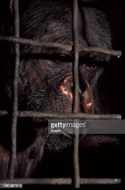Portrait of caged Chimpanzee at Mvog Betsi Zoo outside Yaounde Cameroon Date