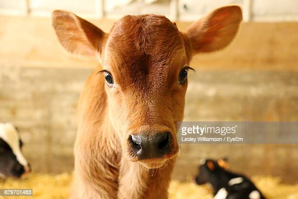 Portrait Of Calf At Dairy Farm