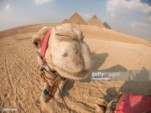 portrait of camel lying in front of the giza pyramids - ancient stock pictures, royalty-free photos & images