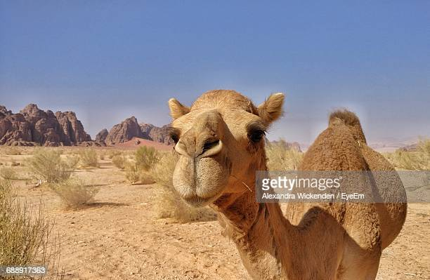 portrait of camel on desert against sky - camel stock pictures, royalty-free photos & images