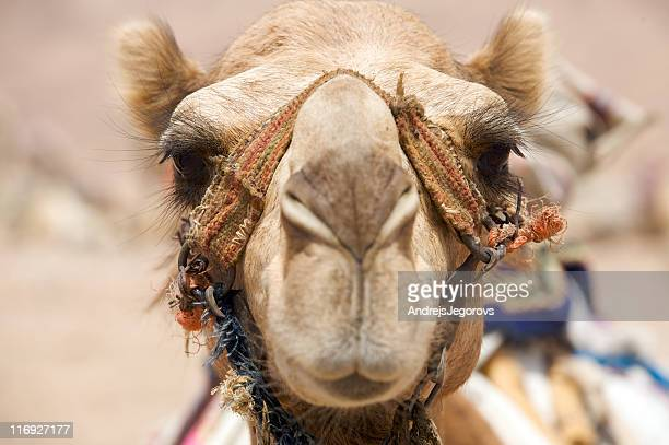portrait of camel - working animal stock pictures, royalty-free photos & images