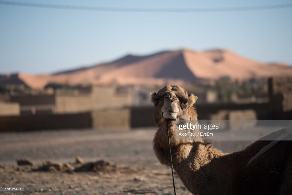 Portrait Of Camel Standing At Desert Against Clear Sky : Photo