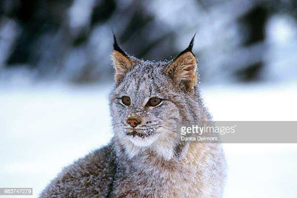 portrait of canadian lynx (lynx canadensis) on snow, montana, usa - canadian lynx stock pictures, royalty-free photos & images