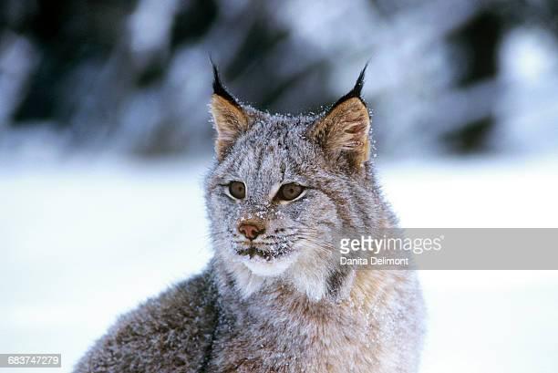 Portrait of Canadian lynx (Lynx canadensis) on snow, Montana, USA