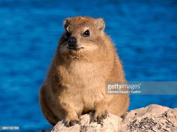 Portrait Of Cape Hyrax On Rock Against Sea
