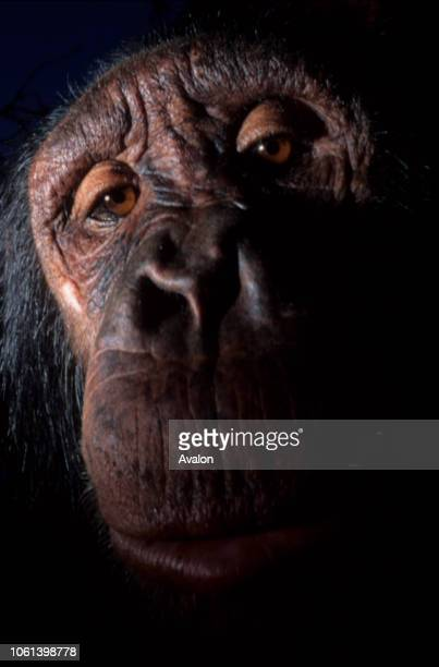 Portrait of captive Chimpanzee at zoo in DRC Date 250608
