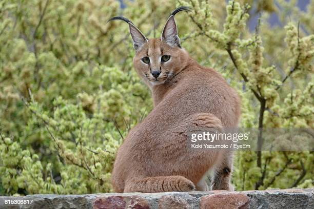 Portrait Of Caracal On Stone Wall