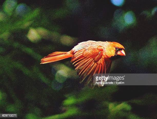 portrait of cardinal flying against trees - cardinal bird stock pictures, royalty-free photos & images