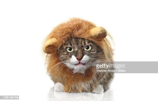 portrait of cat dressed up as lion, neu-ulm, germany - neu ストックフォトと画像