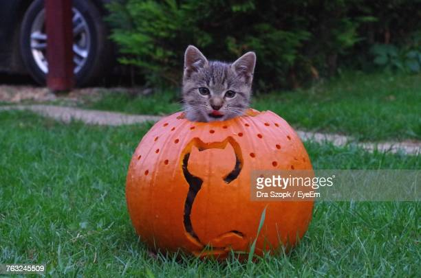 portrait of cat in pumpkin on grass during halloween - pumpkin cats stock pictures, royalty-free photos & images