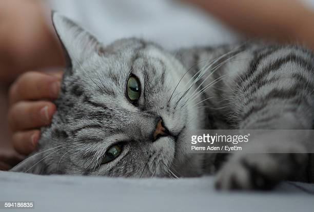 portrait of cat lying with woman at home - animal whisker stock pictures, royalty-free photos & images